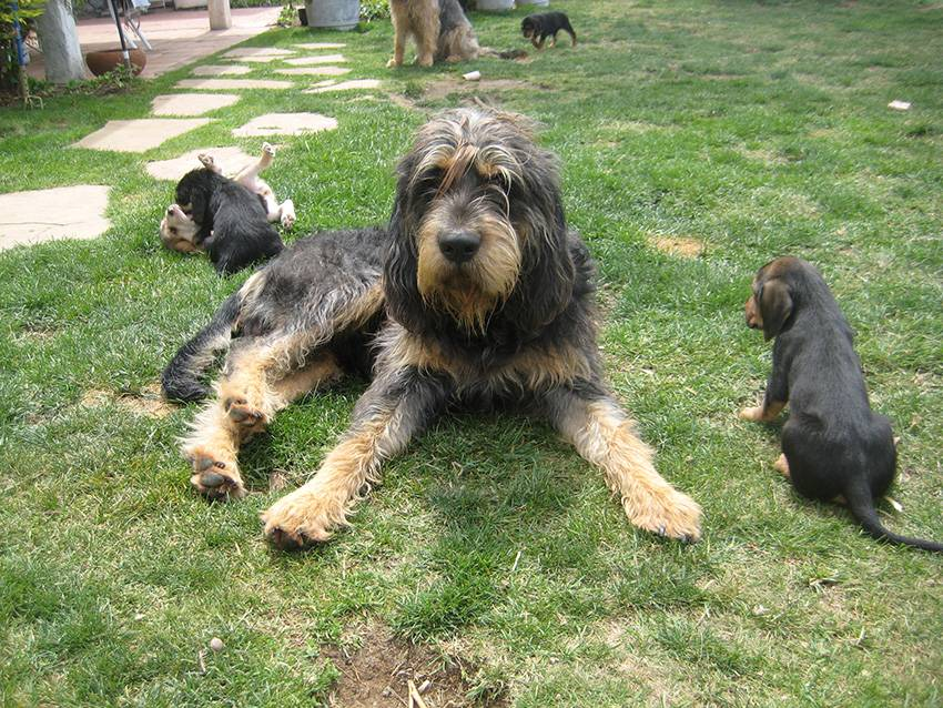 Польская гончая (польский огар) — фото, описание породы собак, особенности характера