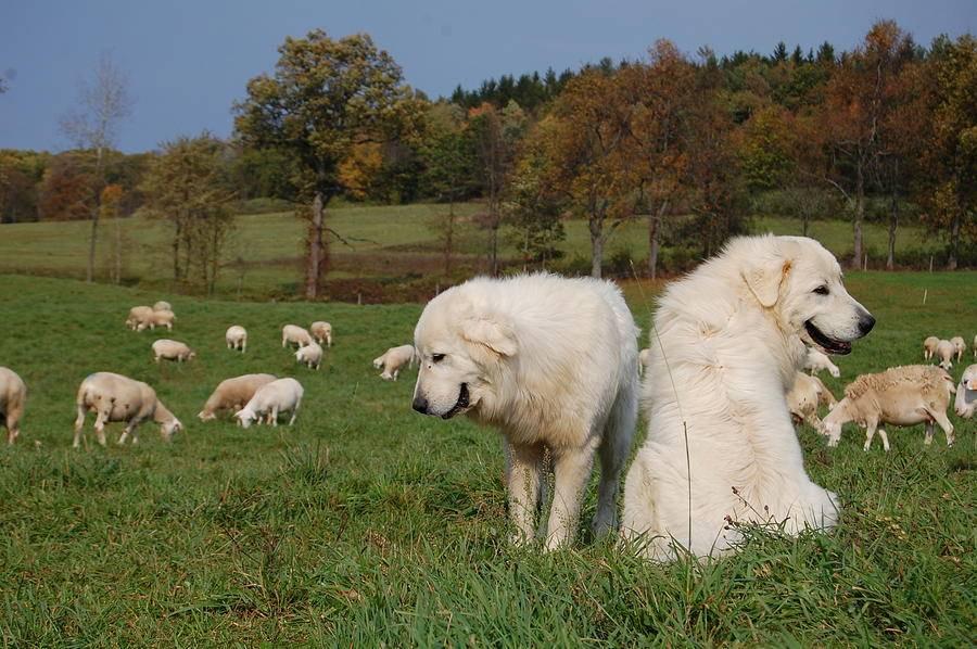Маремма собака. описание, особенности, уход и цена мареммы | животный мир