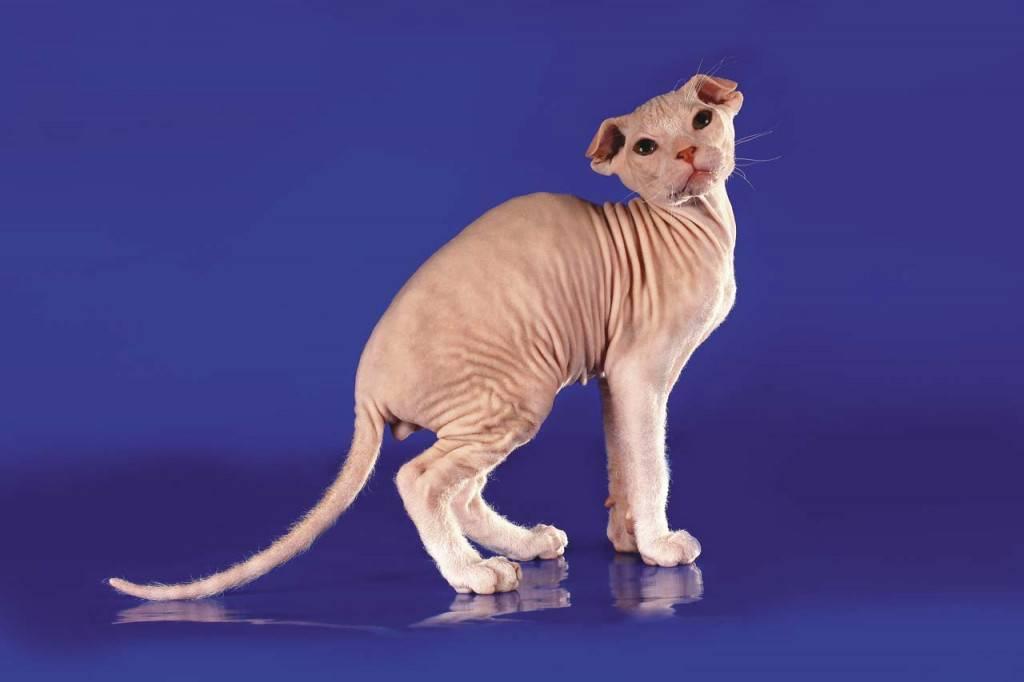 Лысые кошки сфинксы все виды с названием породы