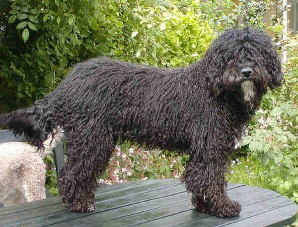 Португальская водяная собака: описание породы собак с фото и видео