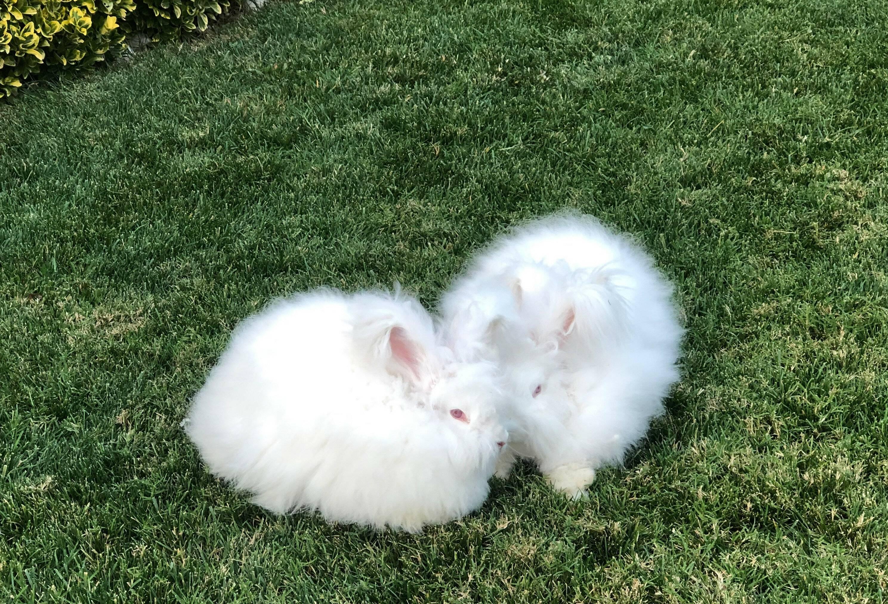 Словно маленький плюшевый зай – ангорский кролик!