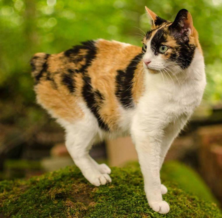 Японский бобтейл кошка. описание, особенности, уход и цена японского бобтейла | животный мир