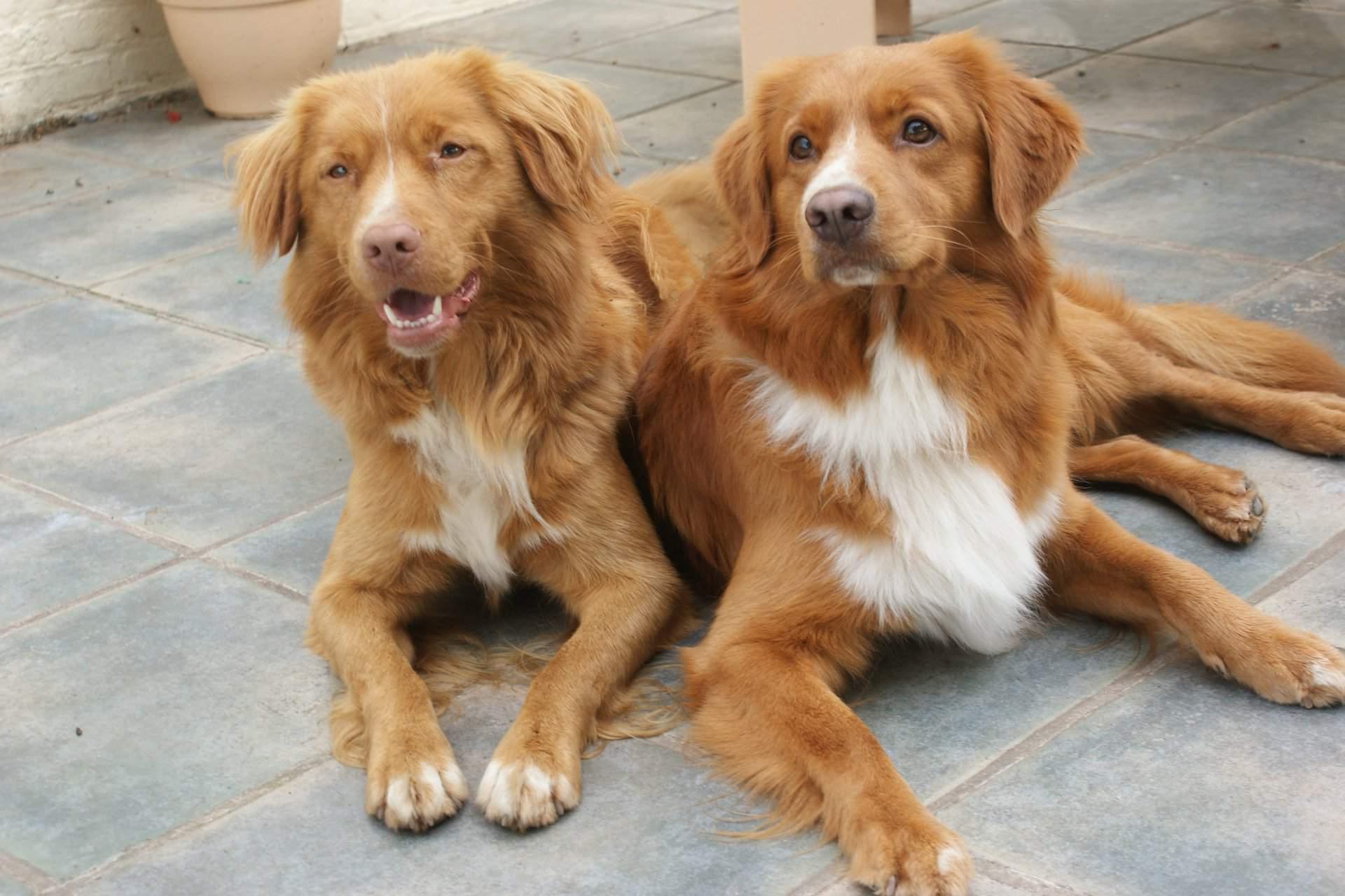 Новошотландский ретривер: описание породы, характер, уход, фото | все о собаках