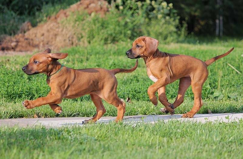 Собака африканский риджбек: описание породы и фото