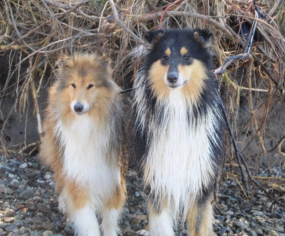 ᐉ собака шелти или шотландская овчарка: описание и характеристика породы - kcc-zoo.ru