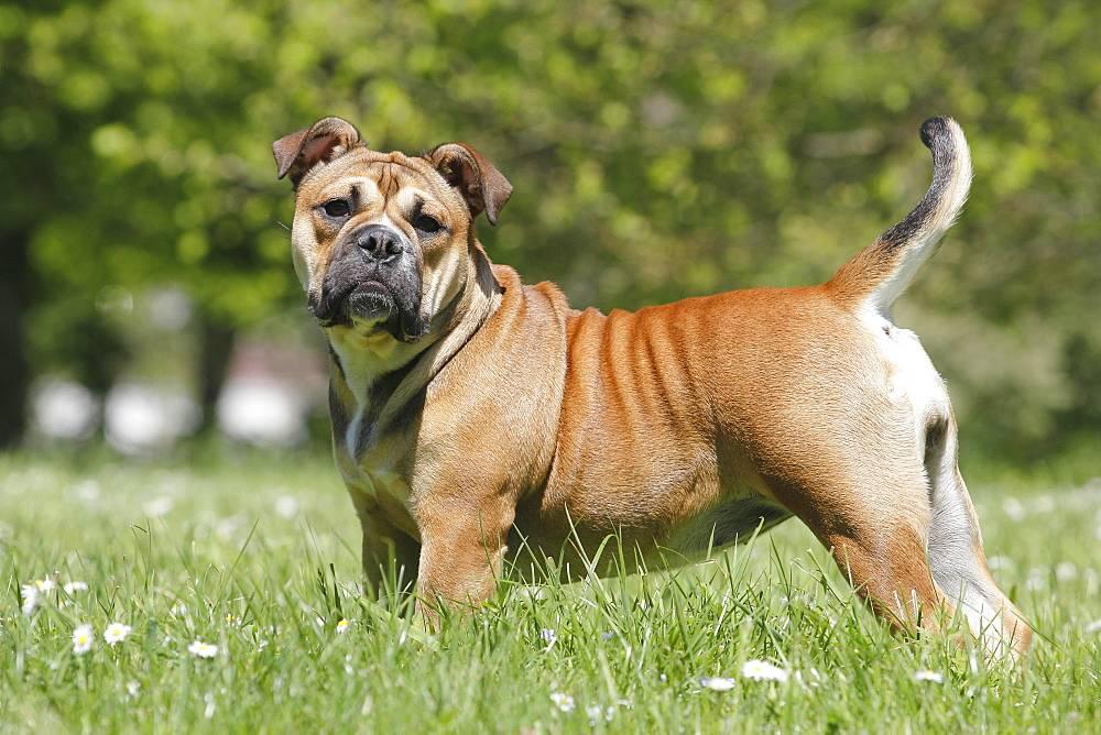 Американский бульдог собака. описание, особенности, виды, уход и цена породы | живность.ру