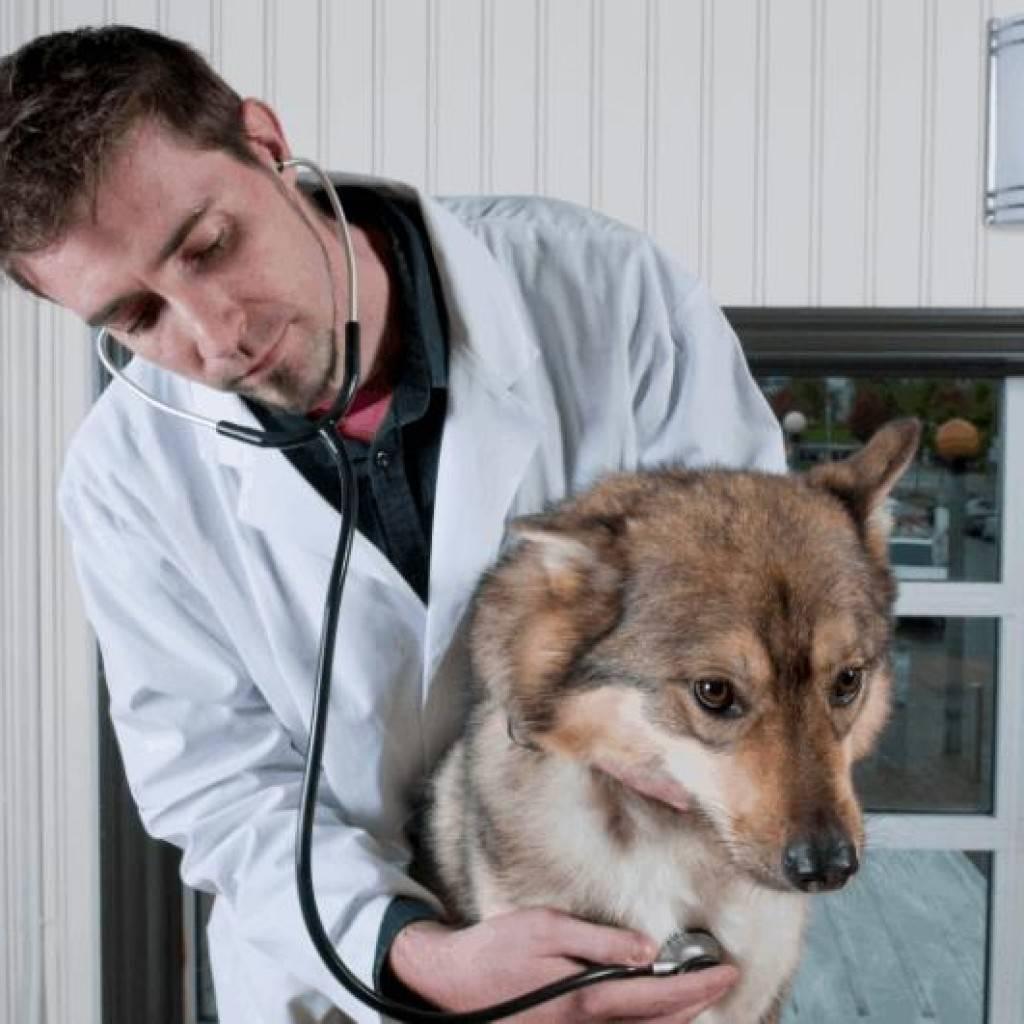 Почему собака часто дышит: норма, причины, возможные недуги