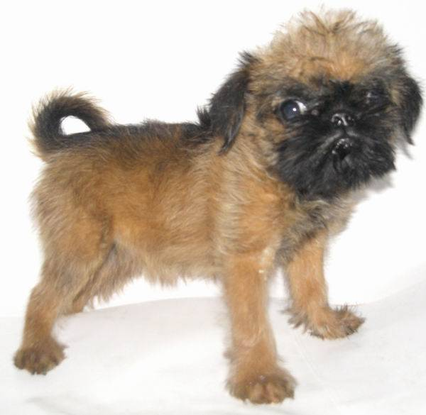Брюссельский (бельгийский) гриффон – порода собак