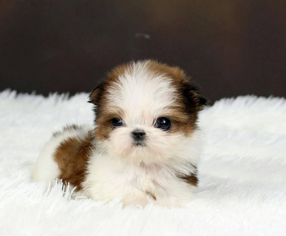 Маленькие породы собак: список представителей с фотографиями, названиями, описаниями и ценами