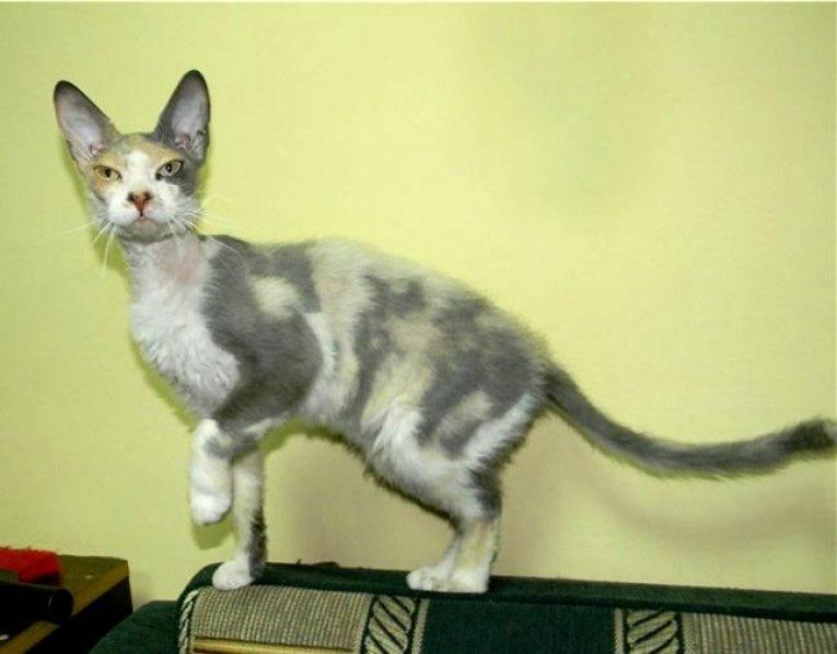 Сфинкс и обычная кошка помесь фото - зоо мир
