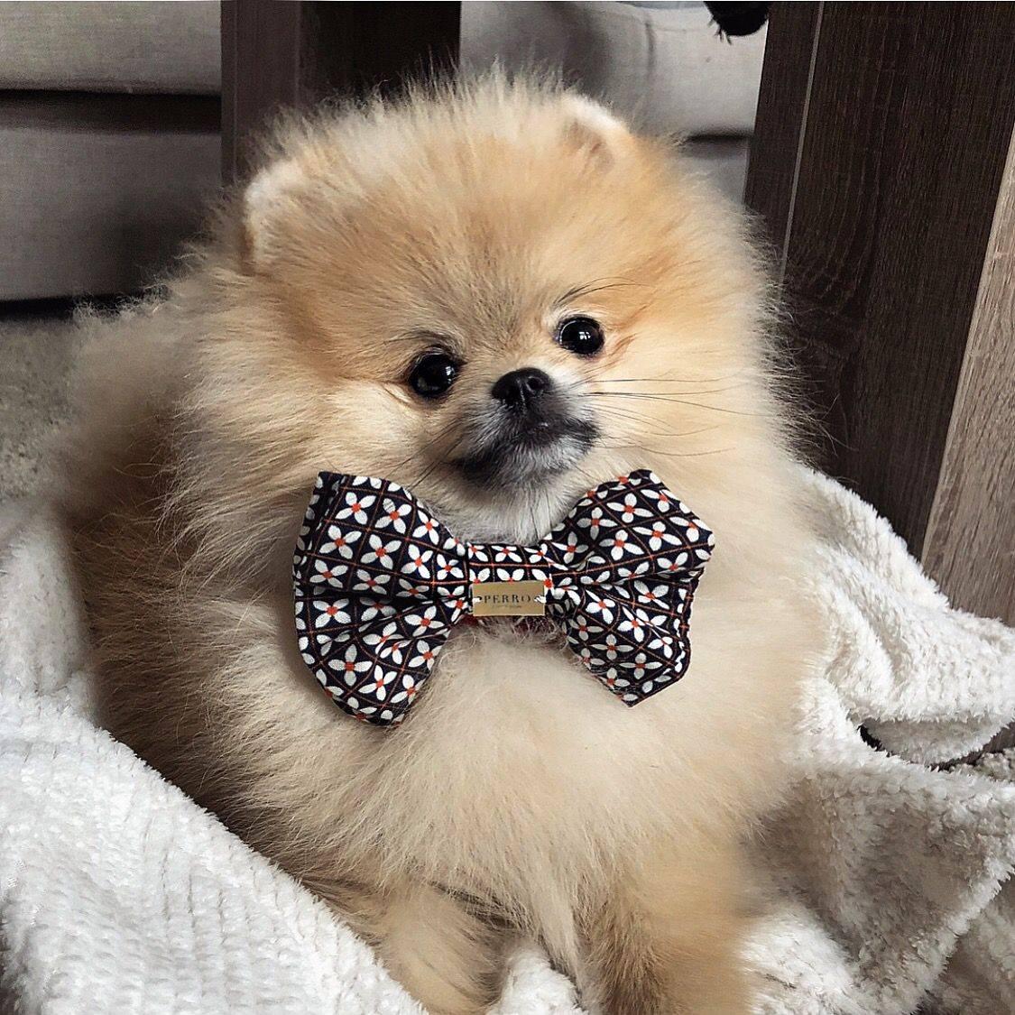 Одежда для шпица (31 фото): зимняя одежда для собаки. как выбрать одежду для щенка-мальчика и девочки?