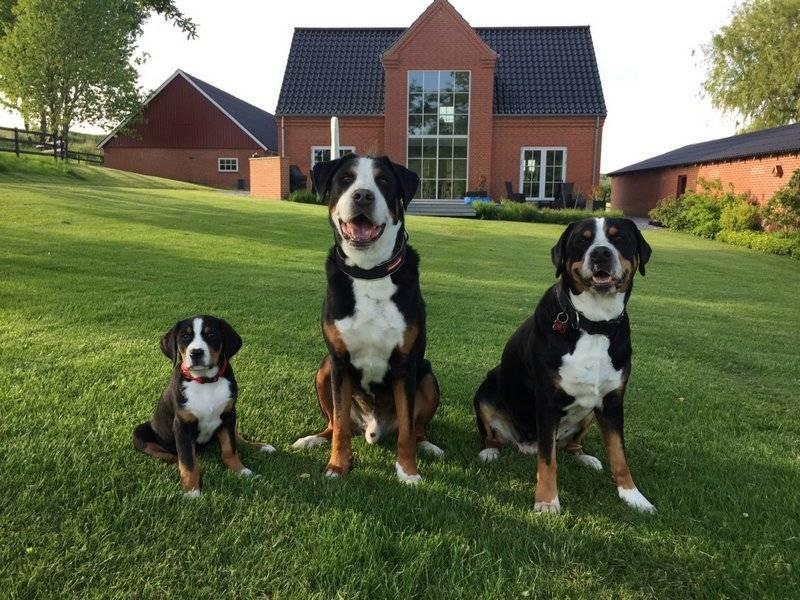 Описание породы собак большой швейцарский зенненхунд с отзывами и фото