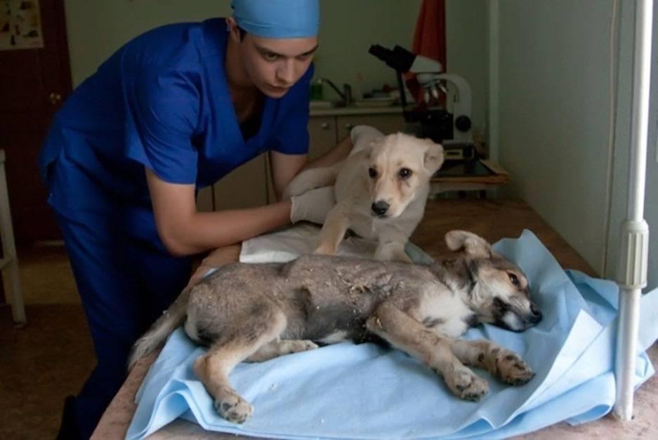 Парвовирусный энтерит собак – научные статьи о ветеринарии животных