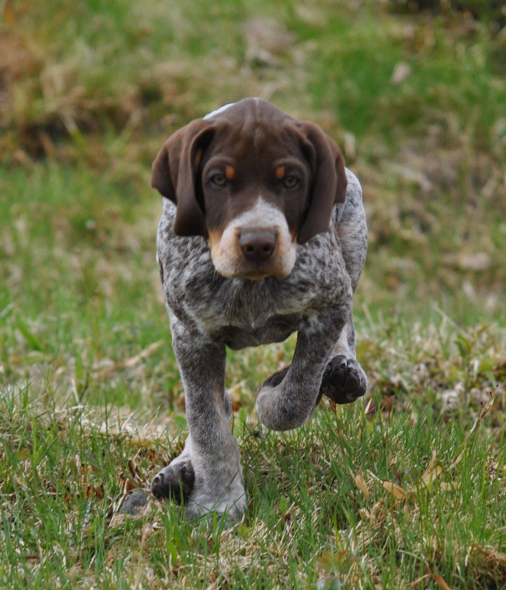 Описание английской породы собак пойнтер: внешность, поведение, дрессировка
