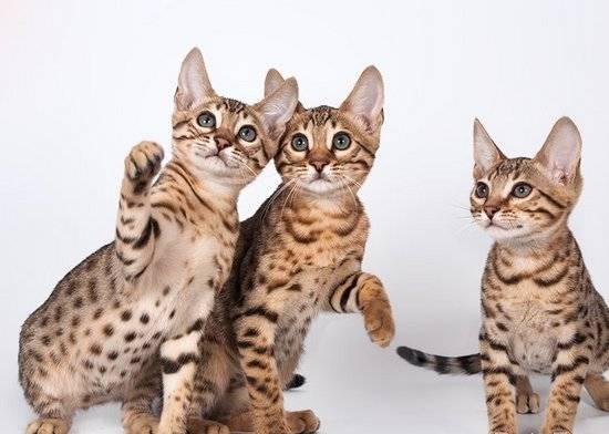Серенгети (кошка): фото, стандарт породы и особенности поведения