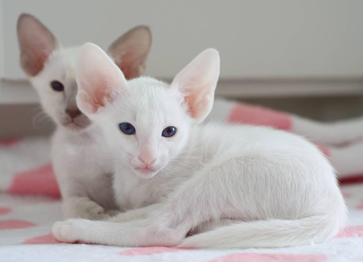Белые кошки [фото + список пород]: суеверия, уход и особенности
