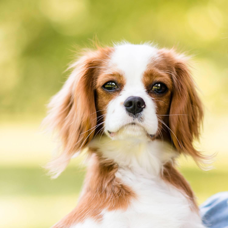 Милая домашняя собачка – кавалер кинг чарльз спаниель