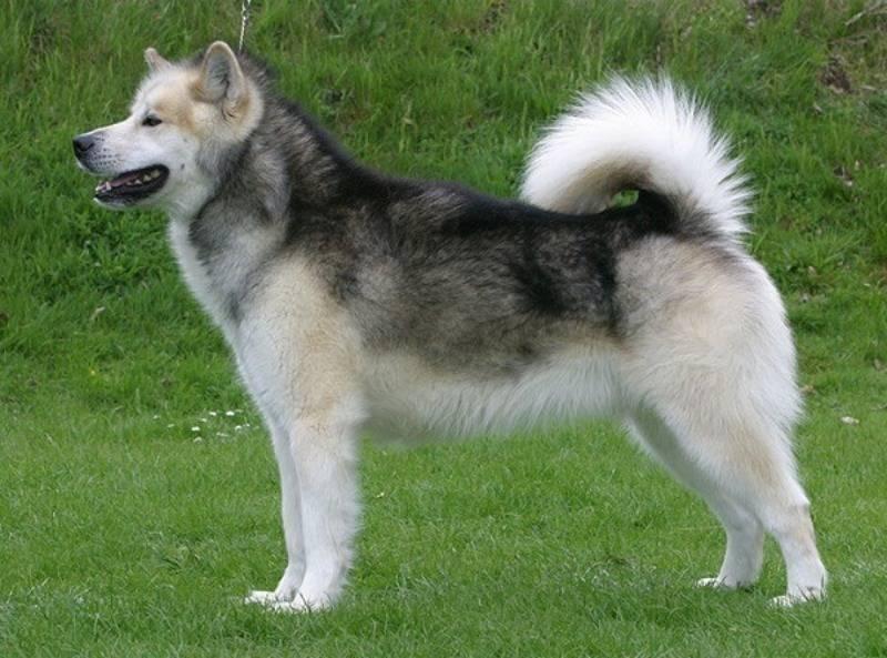 Гренландская собака — википедия