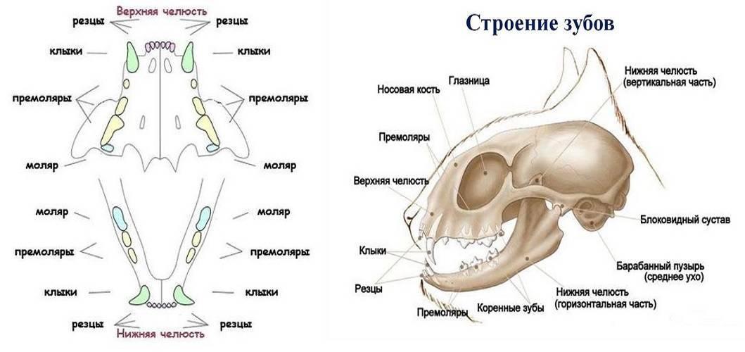 Сколько зубов у собаки — мелкие, средние и крупные породы