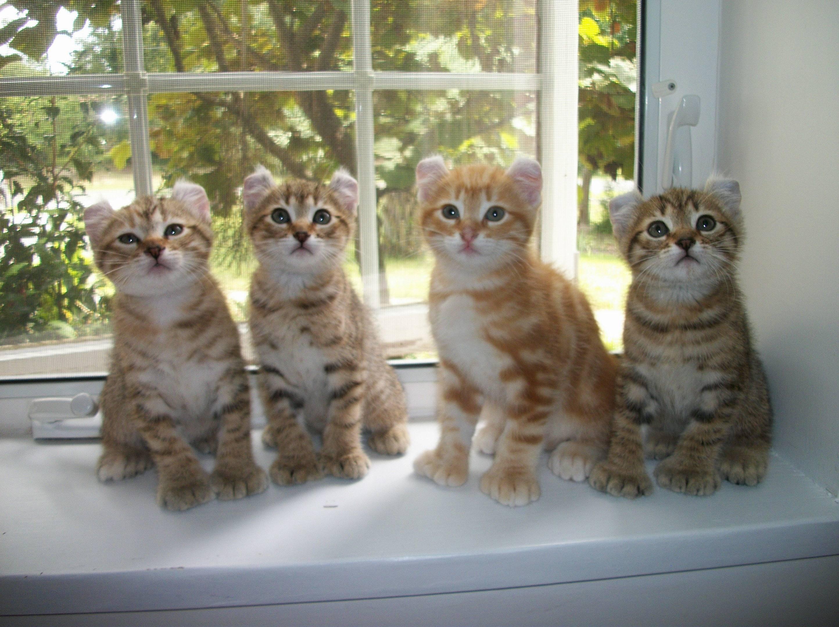 Британская длинношерстная кошка «хайлендер»