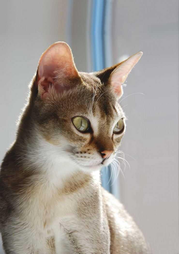 Сингапурская кошка: описание породы, характера, уход и содержание