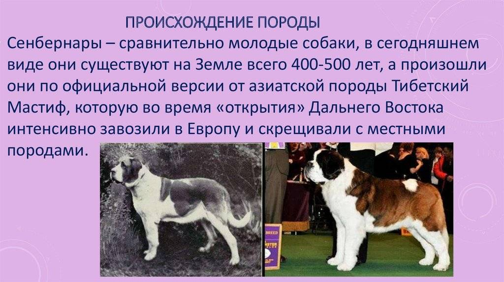 Сенбернар: все о собаке, описание породы с фото, характер, цена