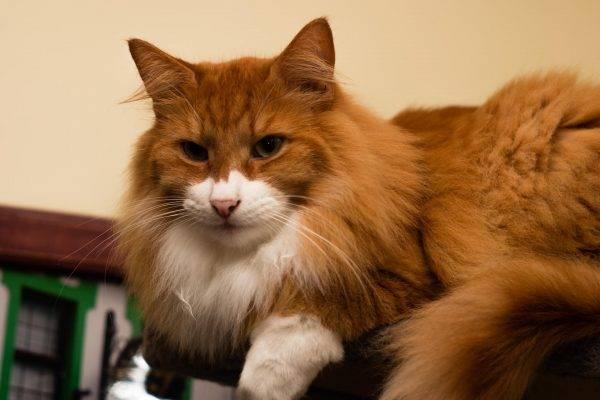 Норвежская лесная кошка: описание породы и характера