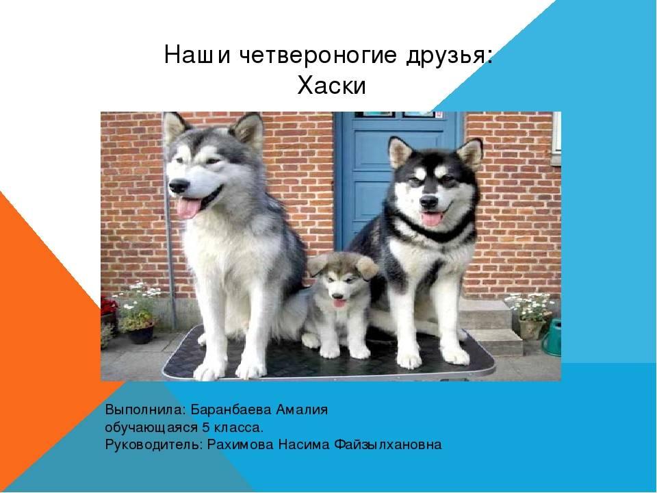 Сибирский хаски: особенности воспитания и дрессировки
