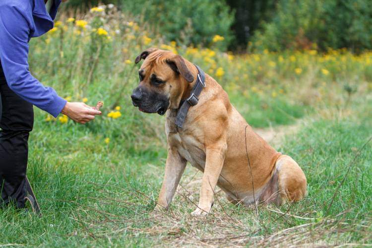 Бурбуль — все о собаке, фото, описание породы, характер, отзывы, содержание, окрас, дрессировка, плюсы и минусы породы