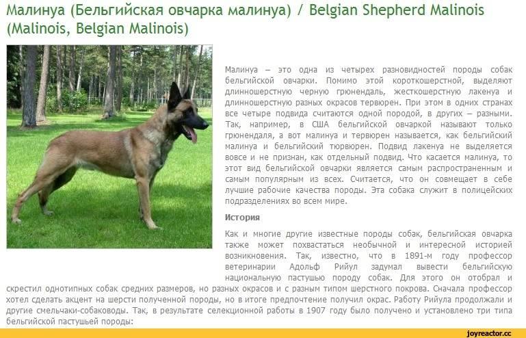 Бельгийские овчарки: ничуть не хуже немецких