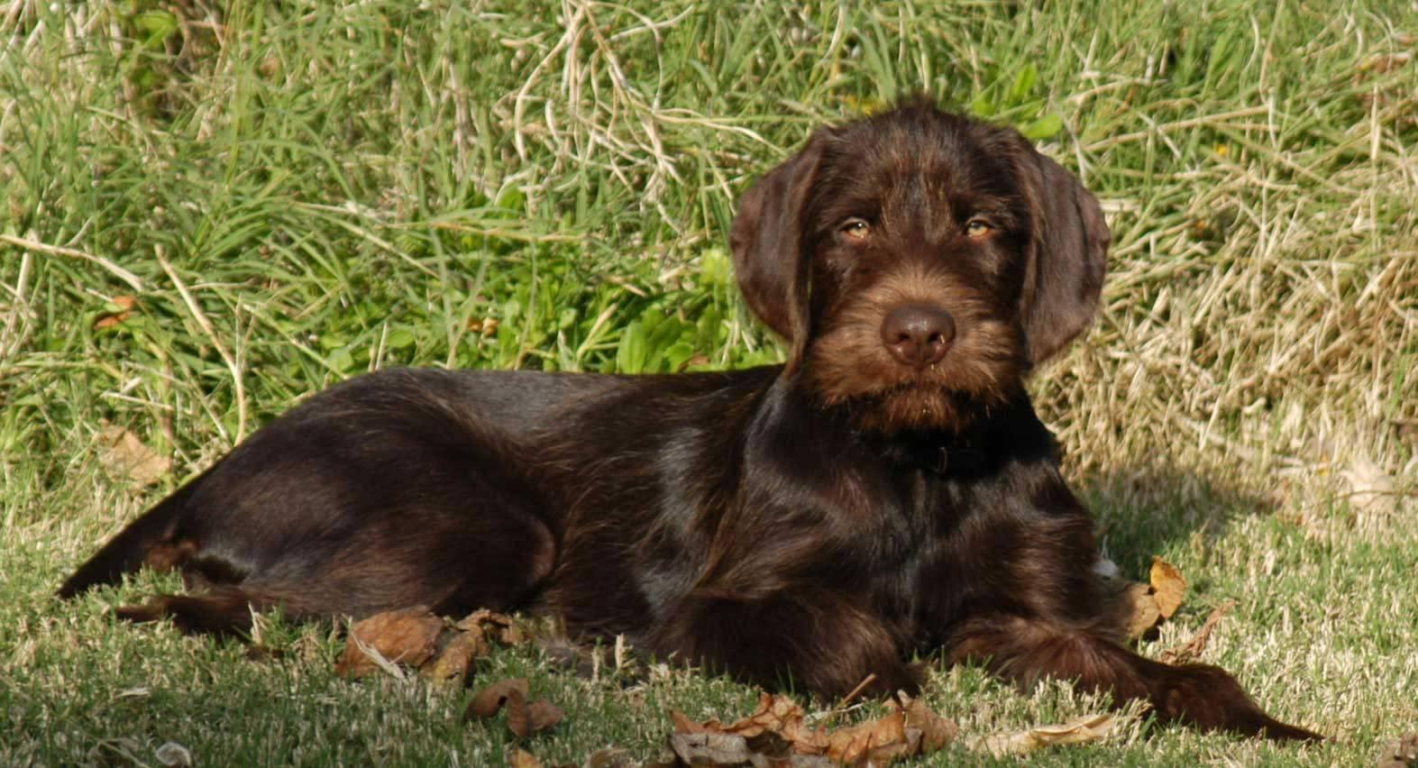 Пудель: все о собаке, фото, описание породы, характер, цена