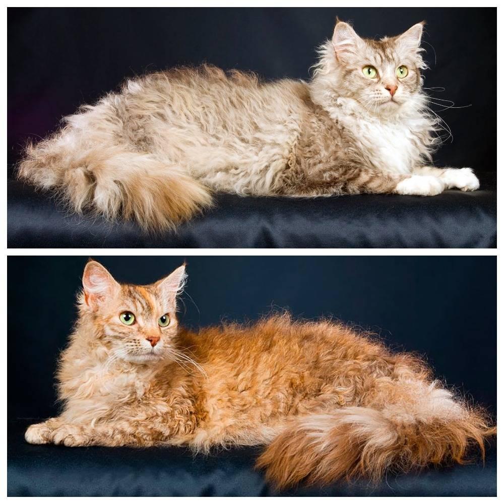 Лаперм — история породы, описание, характер, уход и правила содержания длинношерстной кошки