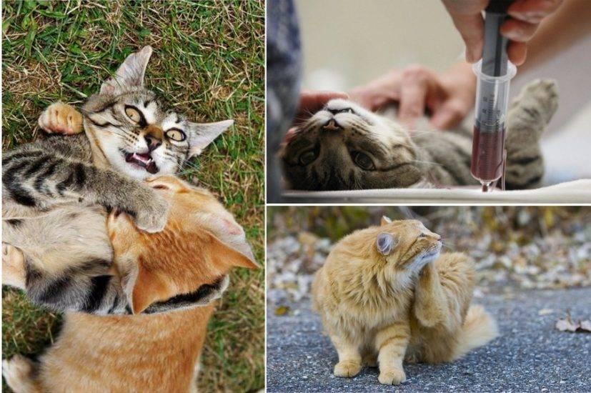 """Иммунодефицит у котов: признаки, лечение, прогноз и профилактика   блог ветклиники """"беланта"""""""