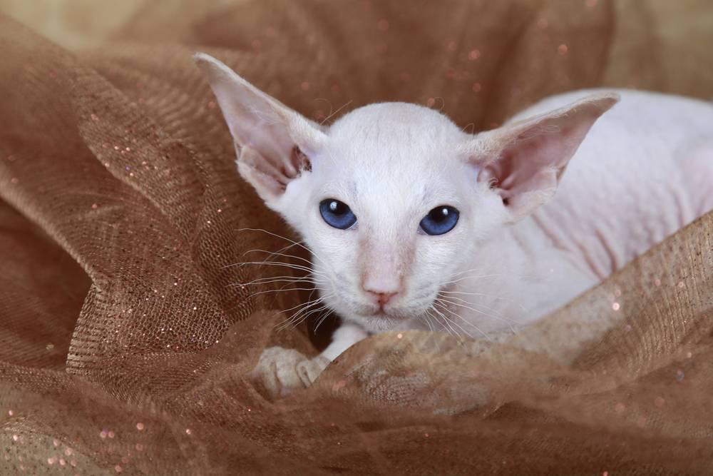Петерболд: описание породы кошек и фото, разновидности котов сфинксов браш и вариетта с шерстью, характер и сколько живут