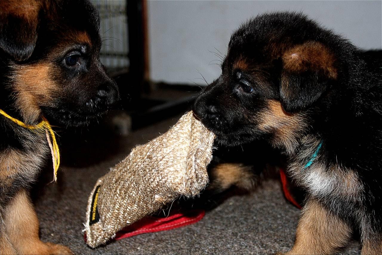 Воспитание щенка немецкой овчарки по месяцам: основные правила, социализация и первые команды