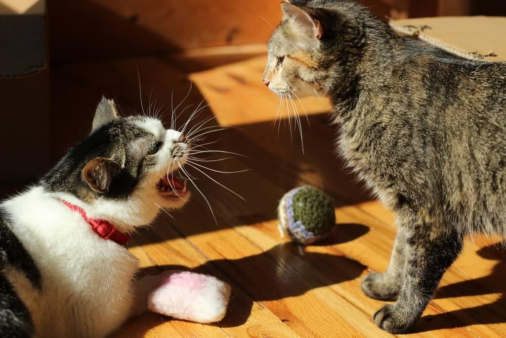 Контроль игровой агрессии кошек, статья, питомник кошек «акирвили», санкт-петербург