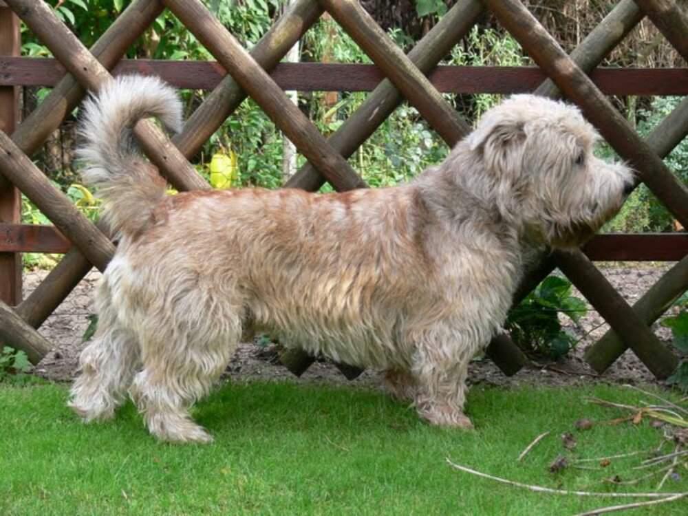 Глен-оф-имаал-терьер. о породе собак: описание породы глен-оф-имаал-терьер, цены, фото, уход