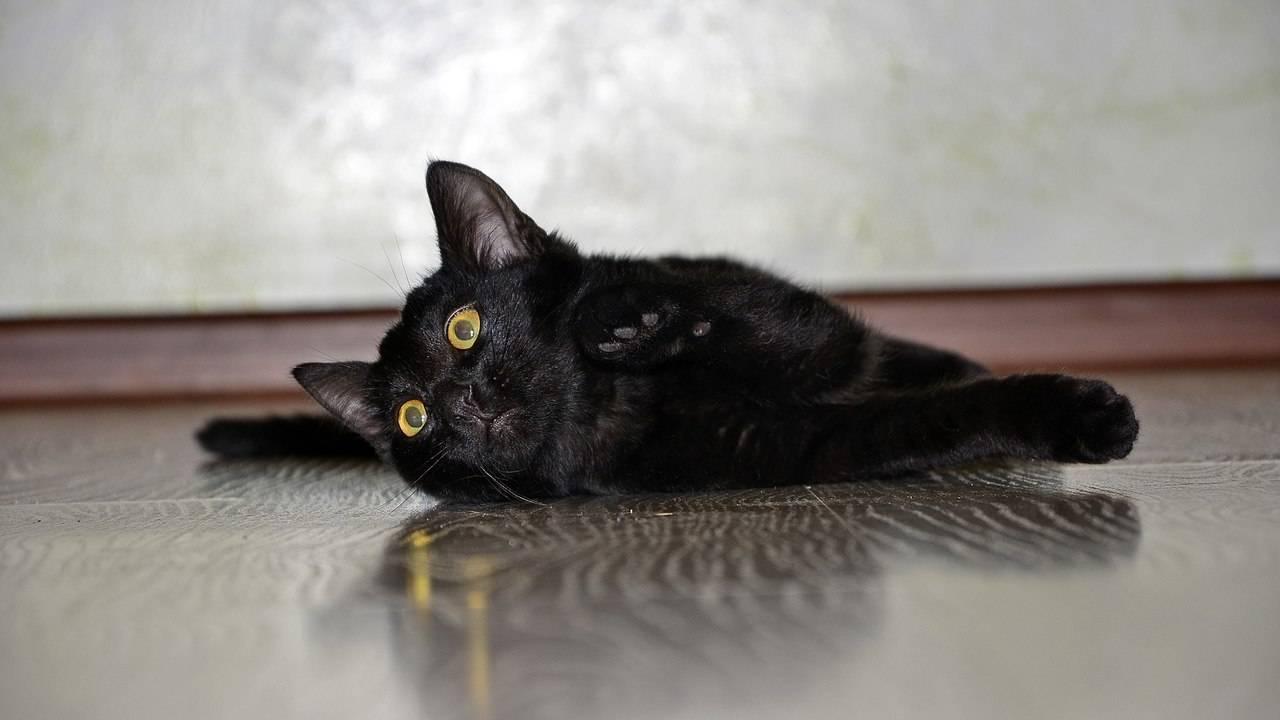 Кошки какого окраса приносят удачу и считаются счастливыми