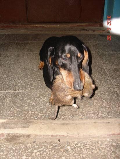 Пражский крысарик: фото и цена чешского ратлика, сколько стоит щенок, отличия от русского и той терьера, а также стандарт, описание и питомники породы собак, отзывы владельцев