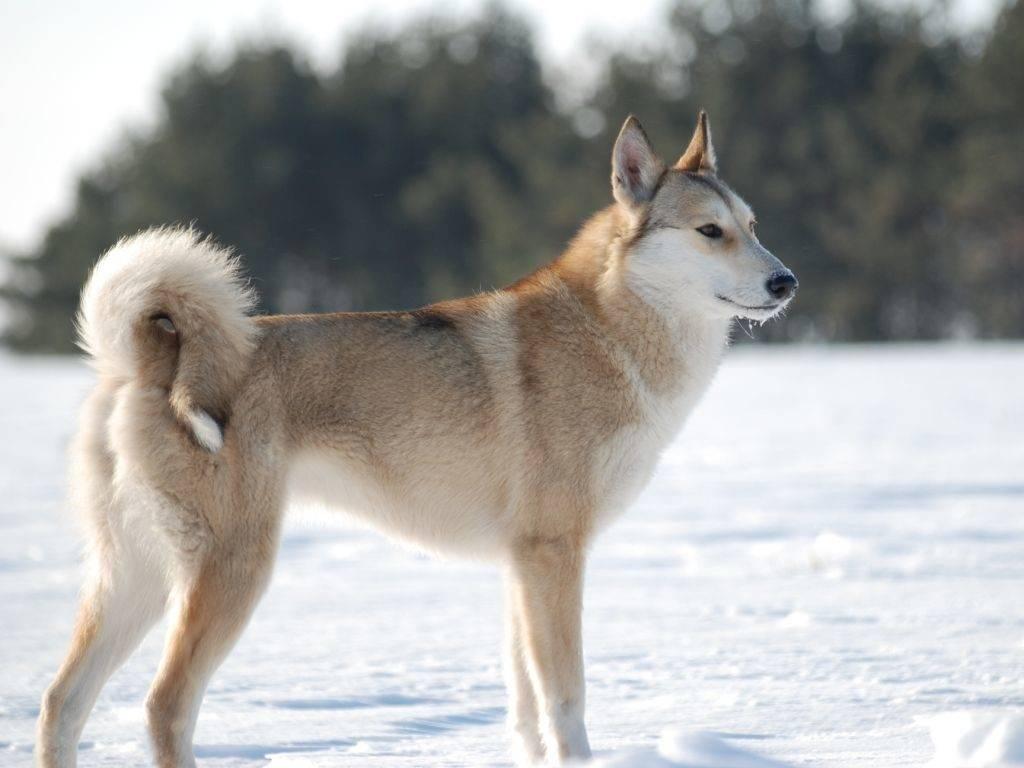 Западно-сибирская лайка: описание породы, характеристика, фото   все о собаках