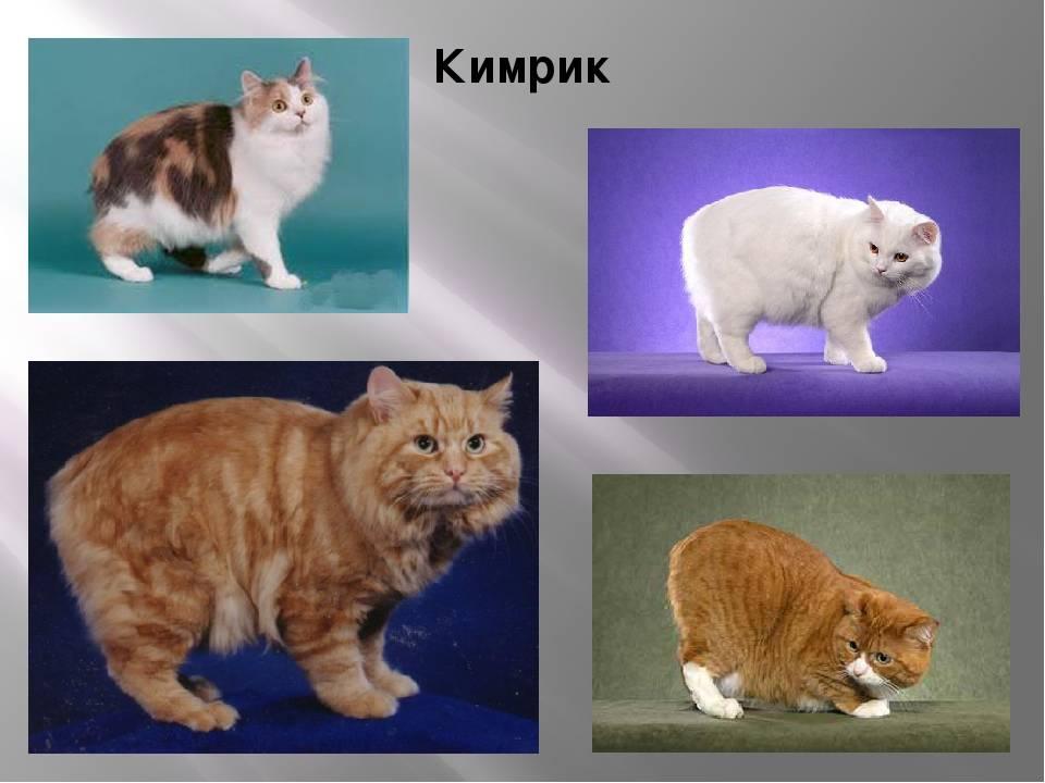 Кимрик: описание породы кошек с острова мэн, отличия от ближайших родственников – мэнксов