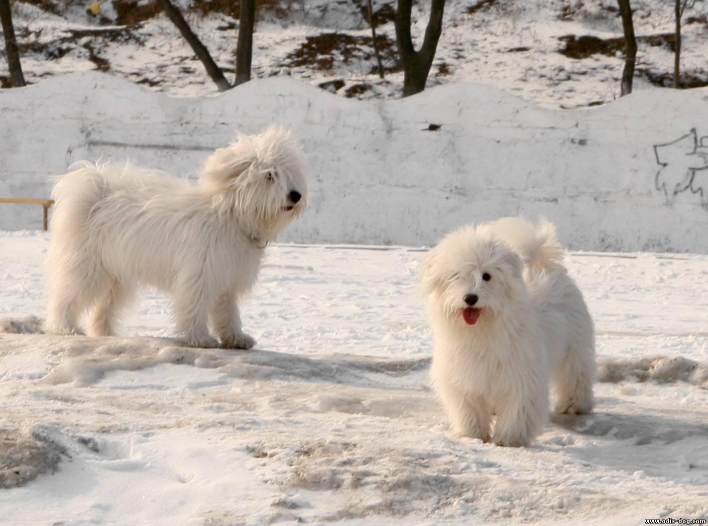 Порода собак одис из одессы: уход и содержание, описание и воспитание породы