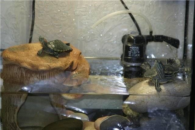 Болотная черепаха уход в домашних условиях|советы от питомца