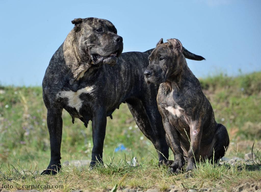 Характеристика собак породы канарский дог с отзывами и фото