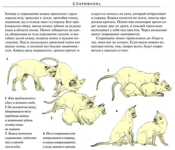 Вязка котов и кошек: как происходит спаривание, в каком возрасте следует проводить первую случку питомцев и другие советы владельцам