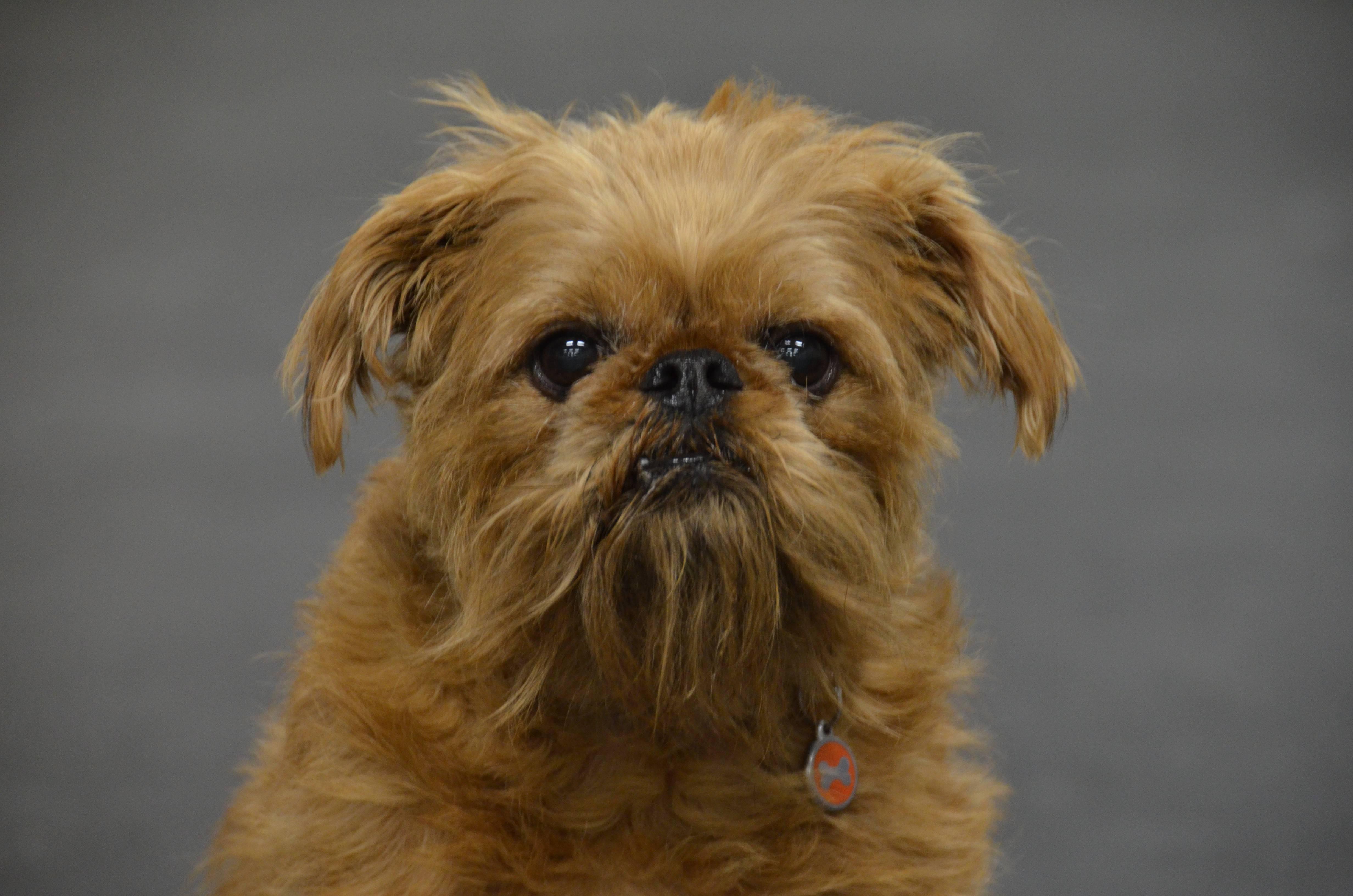 Собака бельгийский гриффон (37 фото): особенности породы, содержание щенков
