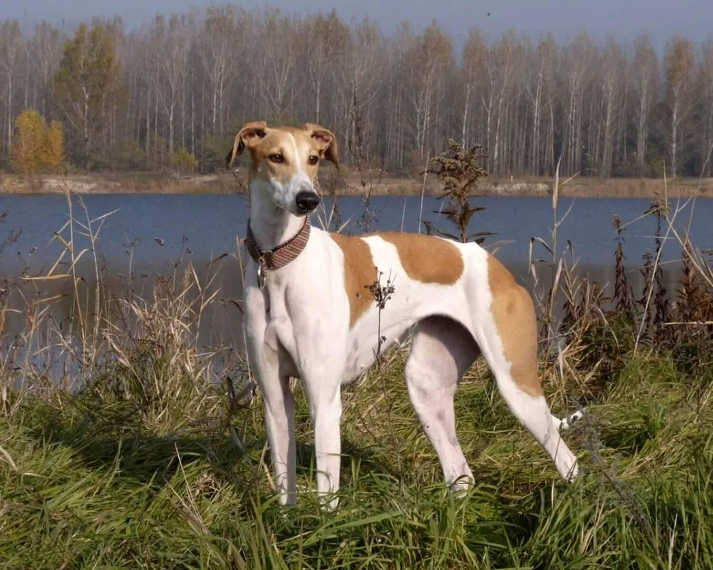 Собаки породы мадьярский агар, характерные особенности, история происхождения и стандарты породы