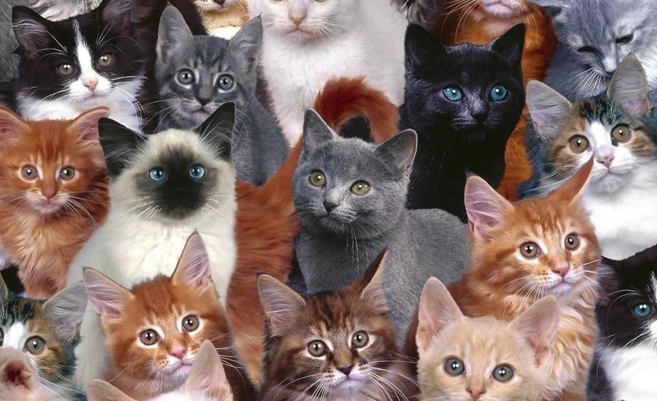 Самые красивые породы кошек в мире, топ породистых кошек