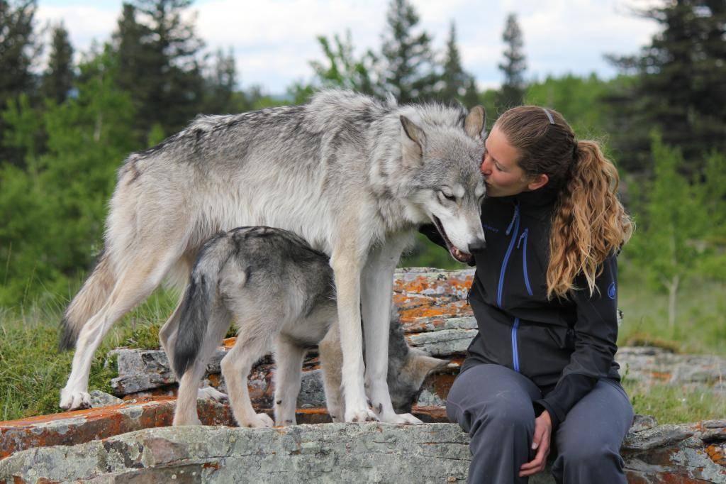 Породы собак похожие на волков, потомки волков или скрещенные с волками