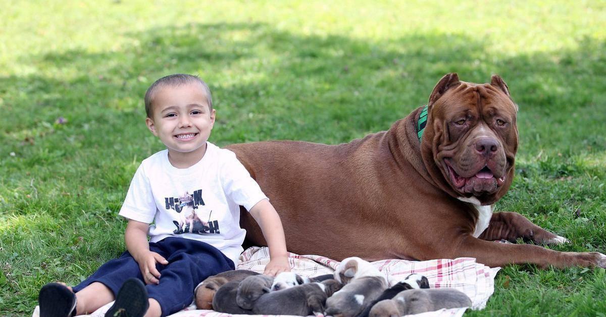 Питбуль халк – самый большой питбультерьер в мире, интересные факты о собаке-гиганте, фото